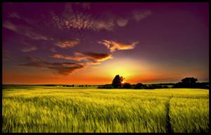 ... golden grain ... by EYELIGHTZONE