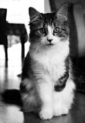 Vintage-looking cat by x-Felicity-x