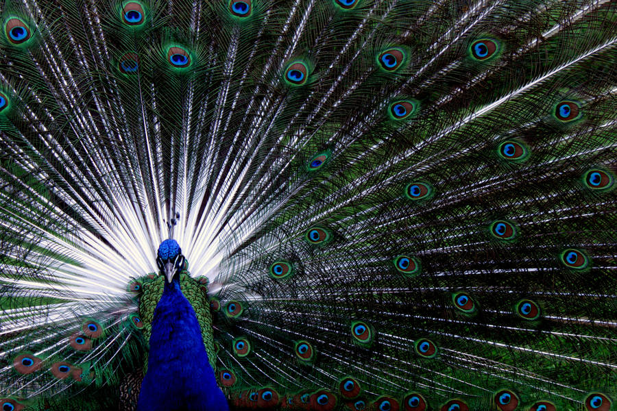 Peacock by ADancerInTheDark