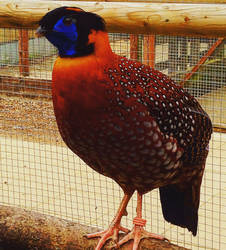 Tragopan by TheCrow33