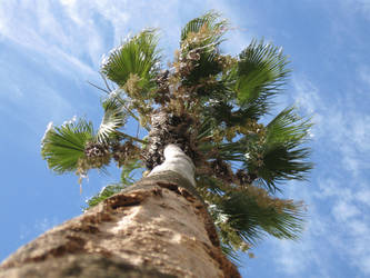 coconut-tree by ffulanoo