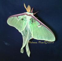 Luna Moth by Stormweaver-Arts
