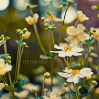 Anemone by JeanFan