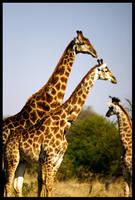 Giraffes by lazychump