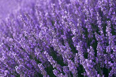 Lavender by Rubengda