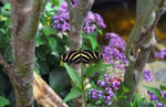 Zebra longwing butterfly by greyrowan