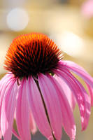 Purple coneflower 14 by greyrowan
