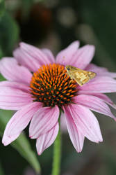 Sachem butterfly on purple coneflower 1 by greyrowan