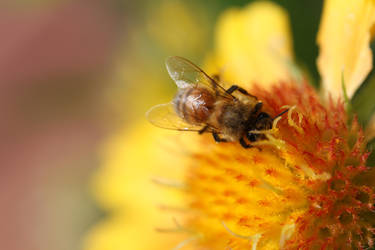 Honey bee on blanketflower 2 by greyrowan