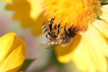 Honey bee on blanketflower 3 by greyrowan