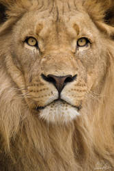 Southwest African Lion by vetchyKocour
