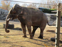 Groucho the Elephant in Musth at Denver Zoo by kylgrv