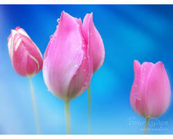 4TULIPS by love1008