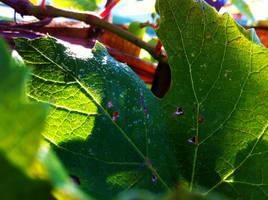 7:30am Grape Vines by Saber-Cow