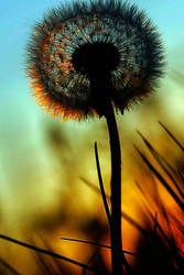 dandelion by coolbubblegum