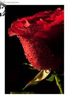 Red Rose 01 by BottledLights