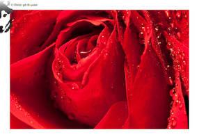 Red Rose 02 by BottledLights