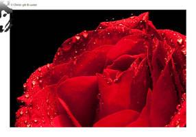 Red Rose 03 by BottledLights