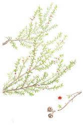 Manuka - Leptospermum scoparium - NZ native by JennyHaslimeier