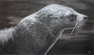Nz Fur Seal by Atarial