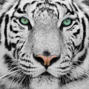 The-White-Tigress's Profile Picture