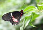 Black n Red Butterfly 1 by Avahlon-Stock