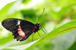Black n Red Butterfly 2 by Avahlon-Stock