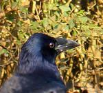 Black Crow 4 by Avahlon-Stock
