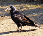 Black Crow 5 by Avahlon-Stock