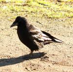 Black Crow 7 by Avahlon-Stock