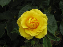 Yellow rose in Regent's Park by lagged