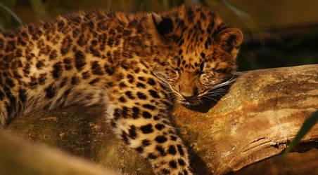 Cat Napping ~ Jax Zoo ~ Sony A580 by AdARDurden