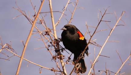 Red Winged Blackbird ~ Viera Wetlands ~ Sony A580 by AdARDurden