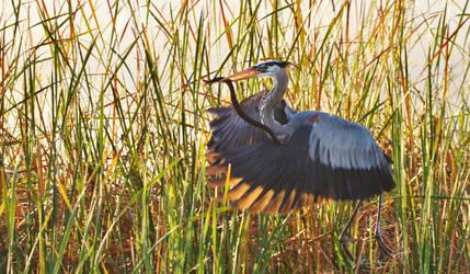Great Blue Heron w/ Brown Water Snake . . SonyA580 by AdARDurden