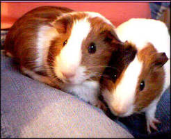 .: Guinea pigs :. by kagome-h