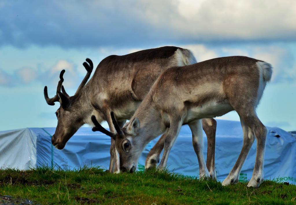 Reindeers' Holiday by Denierim