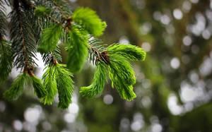 Pine by AgonizingSwordfish