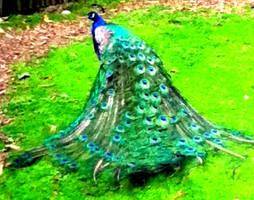 Peacock by BigBlackEyes