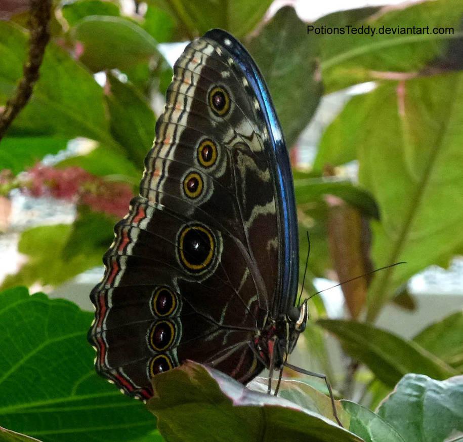 Blue Morpho Butterfly by PotionsTeddy