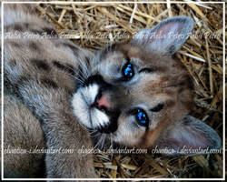Charming Cougar Cub by Chaotica-I
