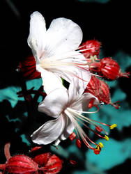 Pelargonium by BlackEyesSnowAngel