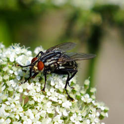 common flesh fly by BlackEyesSnowAngel