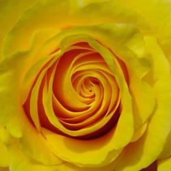yellow rose by BlackEyesSnowAngel