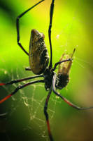 Araneae by danlev