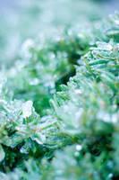 Frozen Evergreens by danlev