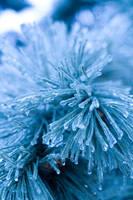 Snow Urchin 3 by danlev