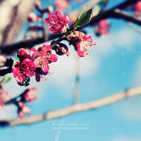 blossoms by ntpdang