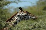 Giraffe 6 by CosmicStock