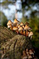 Mushrooms 1 by Shimster