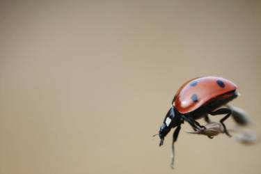 Ladybug by LauraDraghici